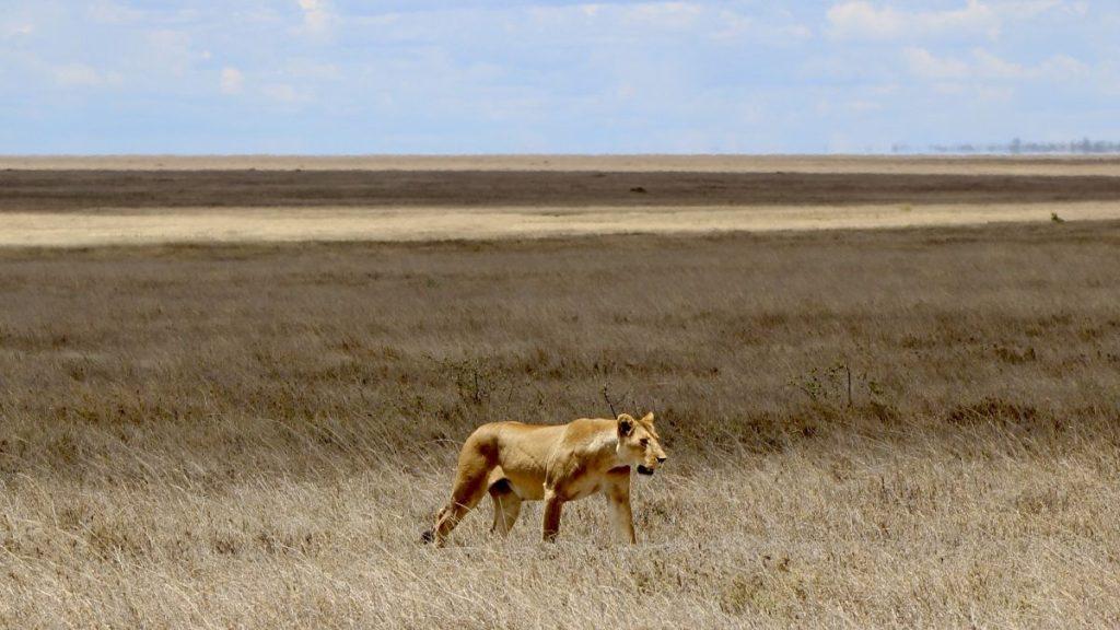 Leeuwin in Serengeti. Foto: Pauline van der Waal / Mountainreporters.com