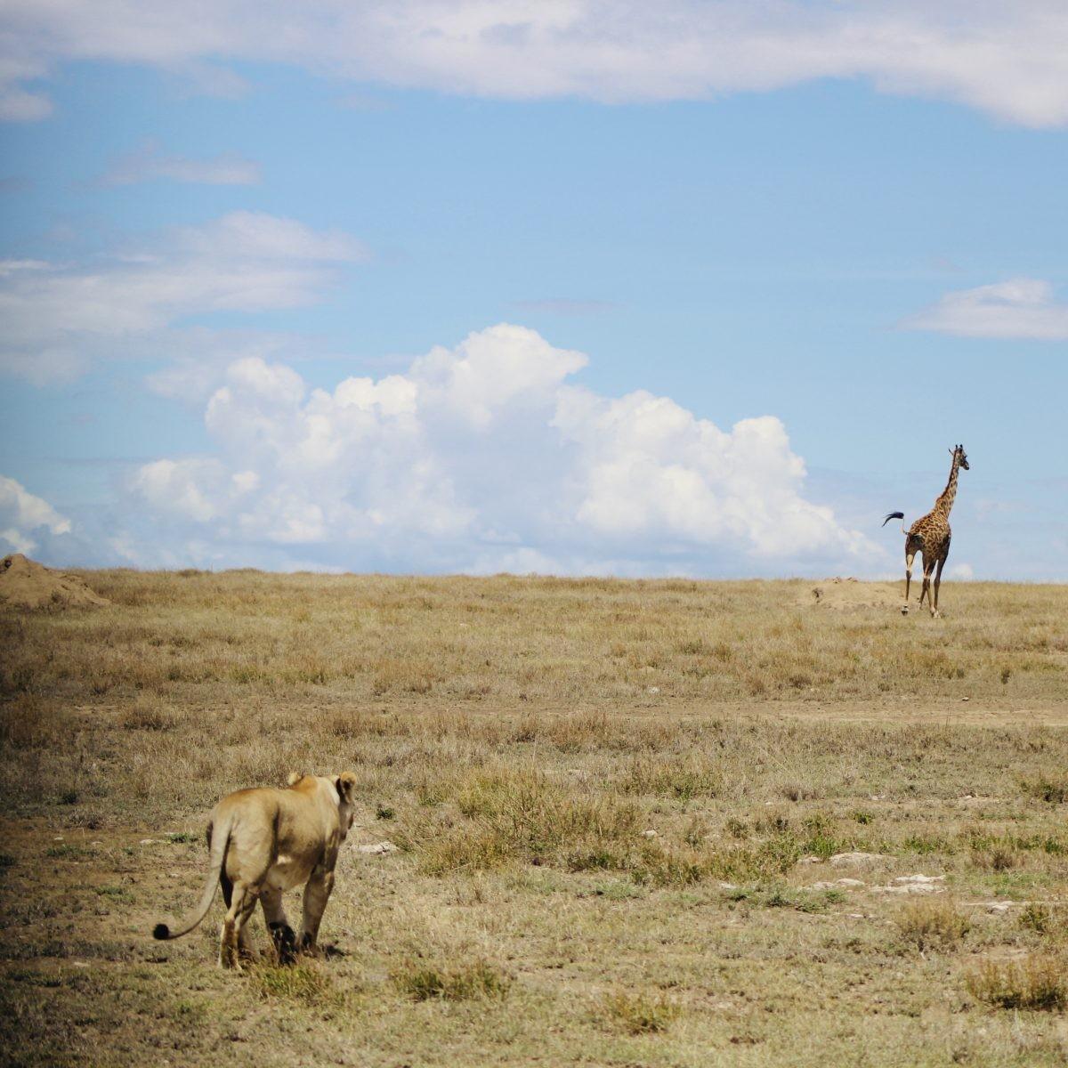 Giraf op de vlucht voor een leeuw. Foto: Pauline van der Waal