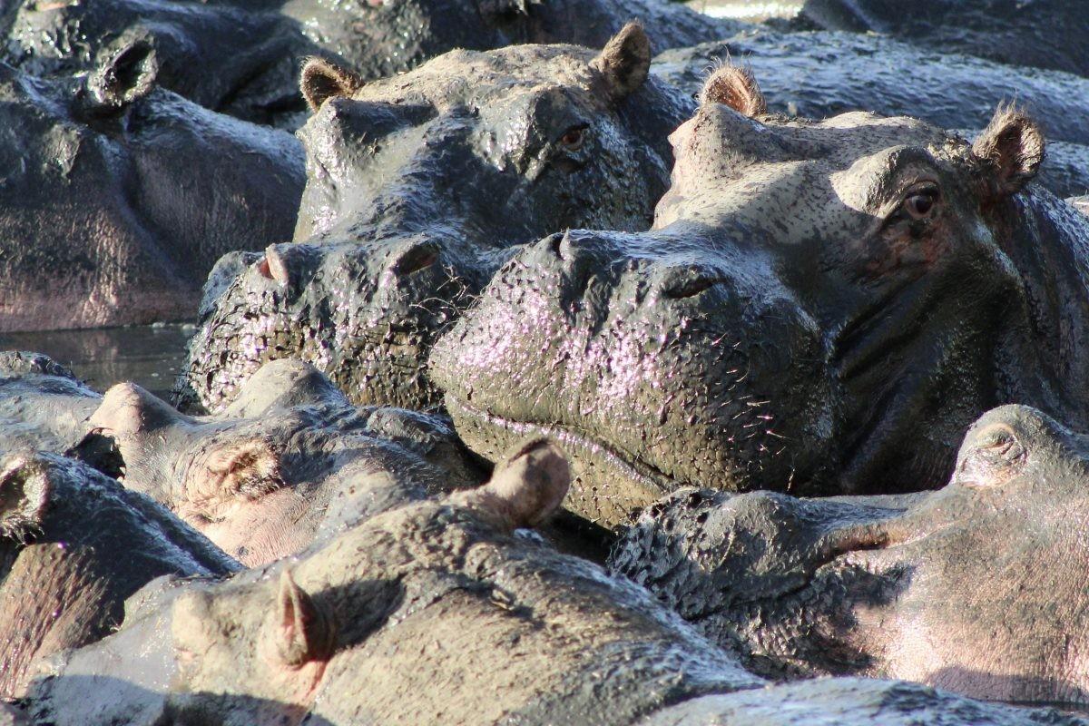 In de 'hippopool' liggen de nijlpaarden op een kluitje. Foto: pauline van der Waal