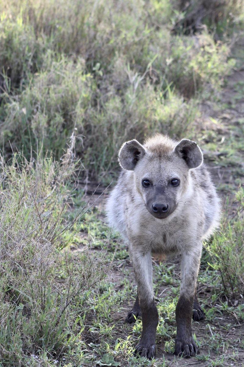 Eigenlijk ziet een hyena er toch schattig uit? Foto: Pauline van der Waal