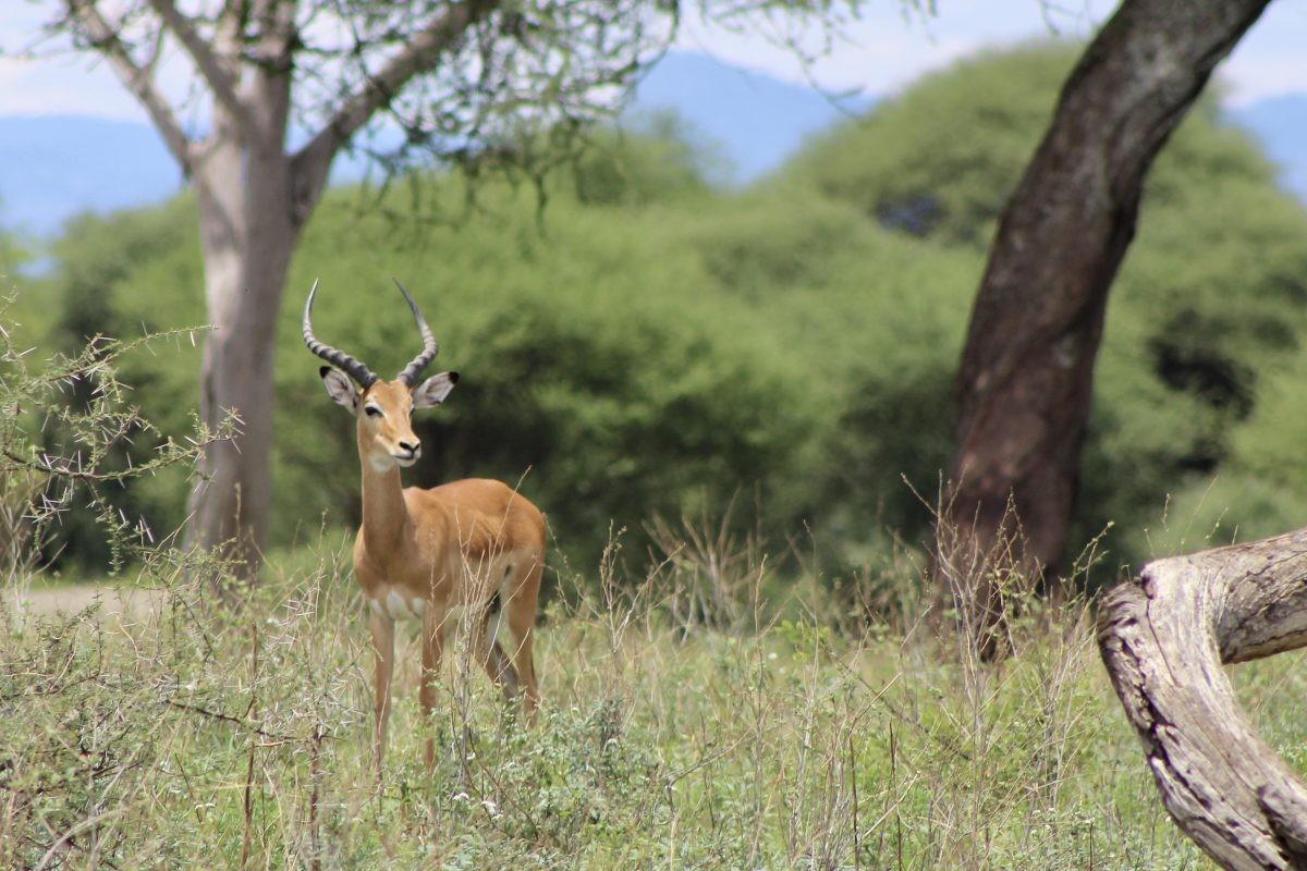 Het nationale park Tarangire is veel groener dan Ngorongoro en Serengeti. Foto: Pauline van der Waal