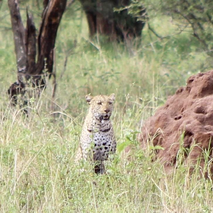 Ik geef toe, ik heb er flink voor moeten inzoomen, maar het was er toch echt één: een luipaard! Foto: Pauline van der Waal