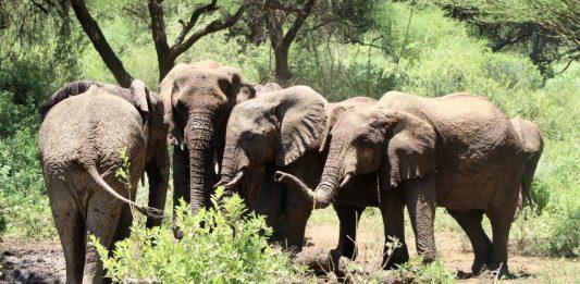 Olifanten in Tanzania. Foto: Pauline van der Waal / MountainReporters.com
