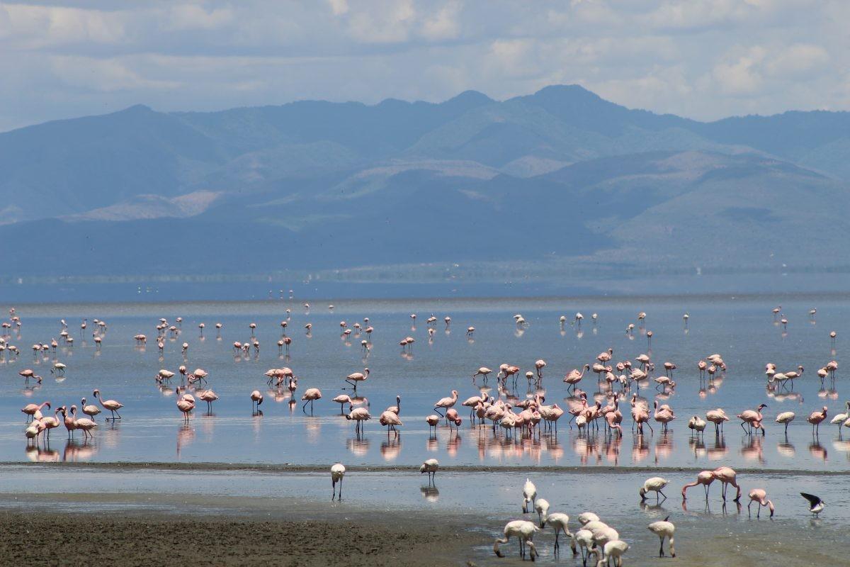 Lake Manyara kleurt roze door de hordes flamingo's die er neerstrijken. Foto: Pauline van der Waal