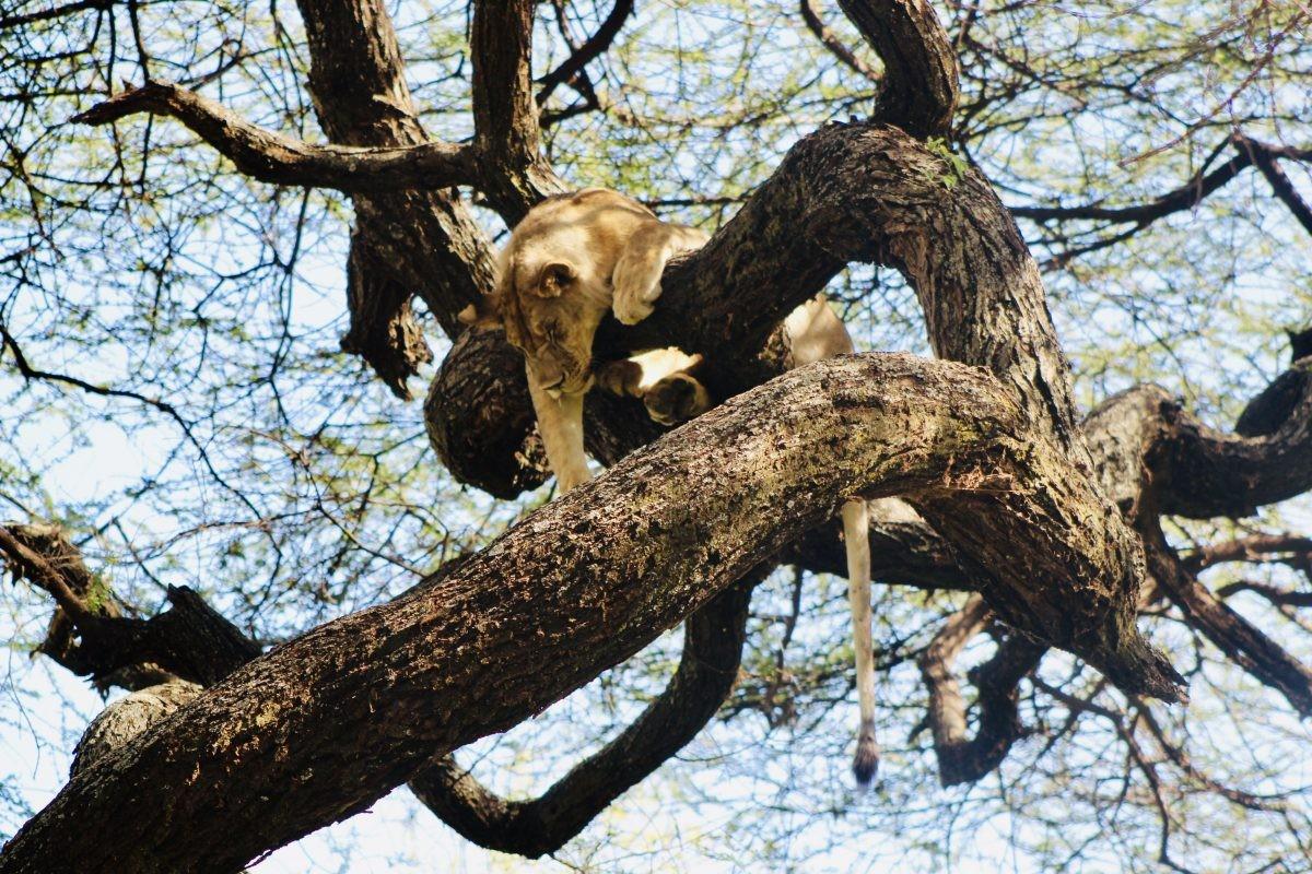Deze tree climbing lion is vooral een lazy tree sleeping lion... Foto: Pauline van der Waal