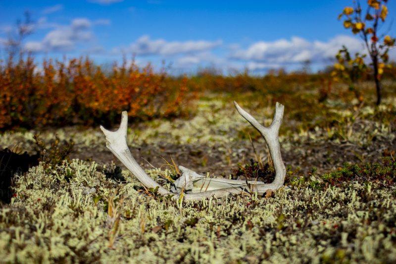 Zon gebleekte geweien liggen verspreidt op de tundra