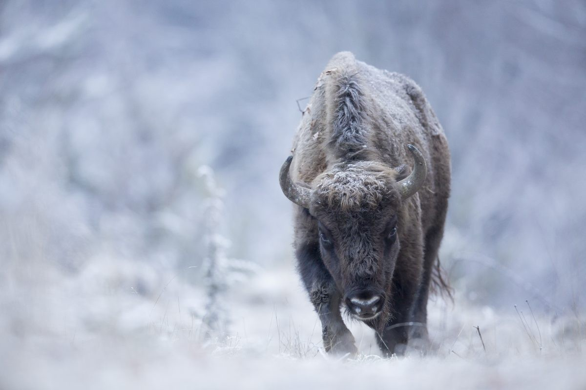 Bison in winter. Copyright: Michel D'Oultremont