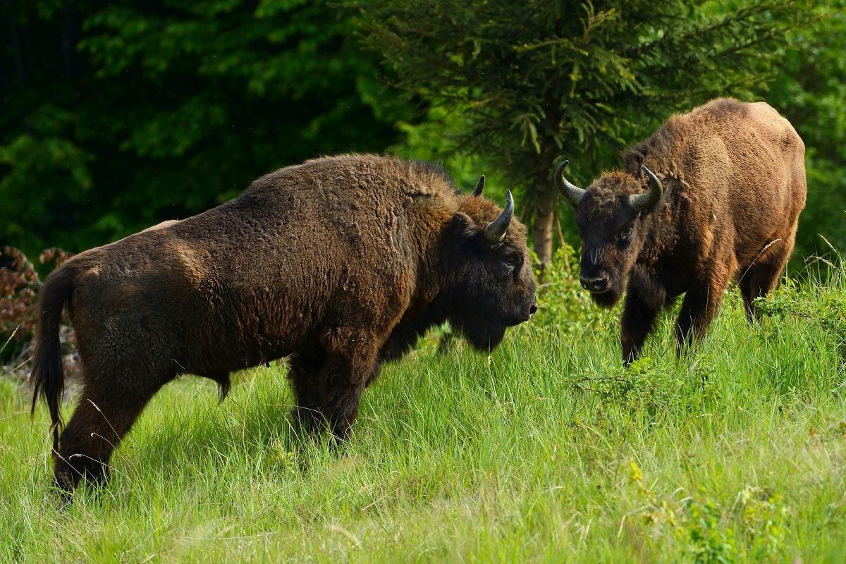 Copyright: Staffan Widstrand, Rewilding Europe