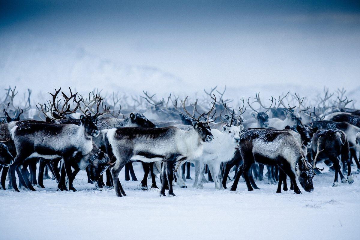 Winters Lapland. Copyright: Carl-Johan Utsi