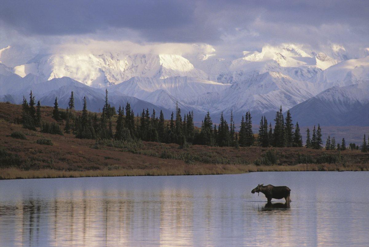 De inwoners van Alaska die je tegenkomt onderweg zijn veelal van de vierbenige soort. Foto: Askja Reizen