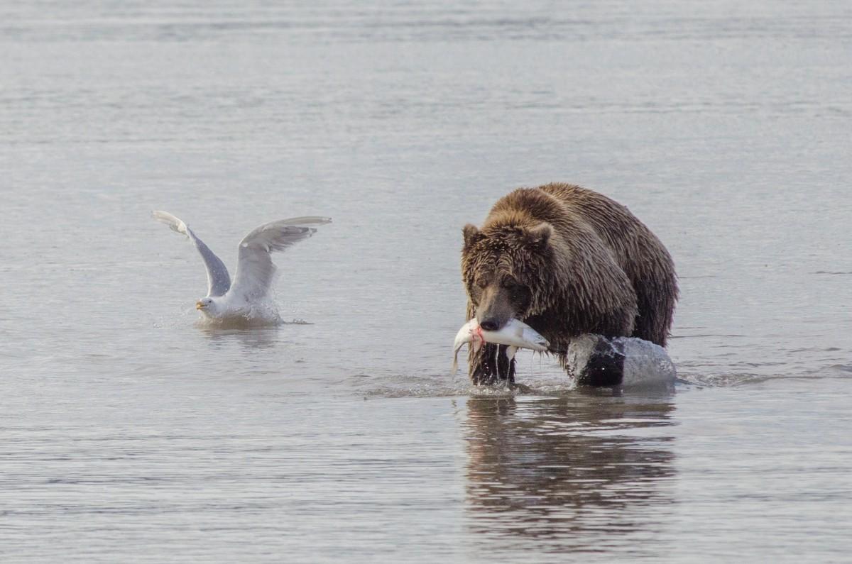 Grote kans dat je tijdens je reis wilde beren gaat zien! Foto: Askja Reizen