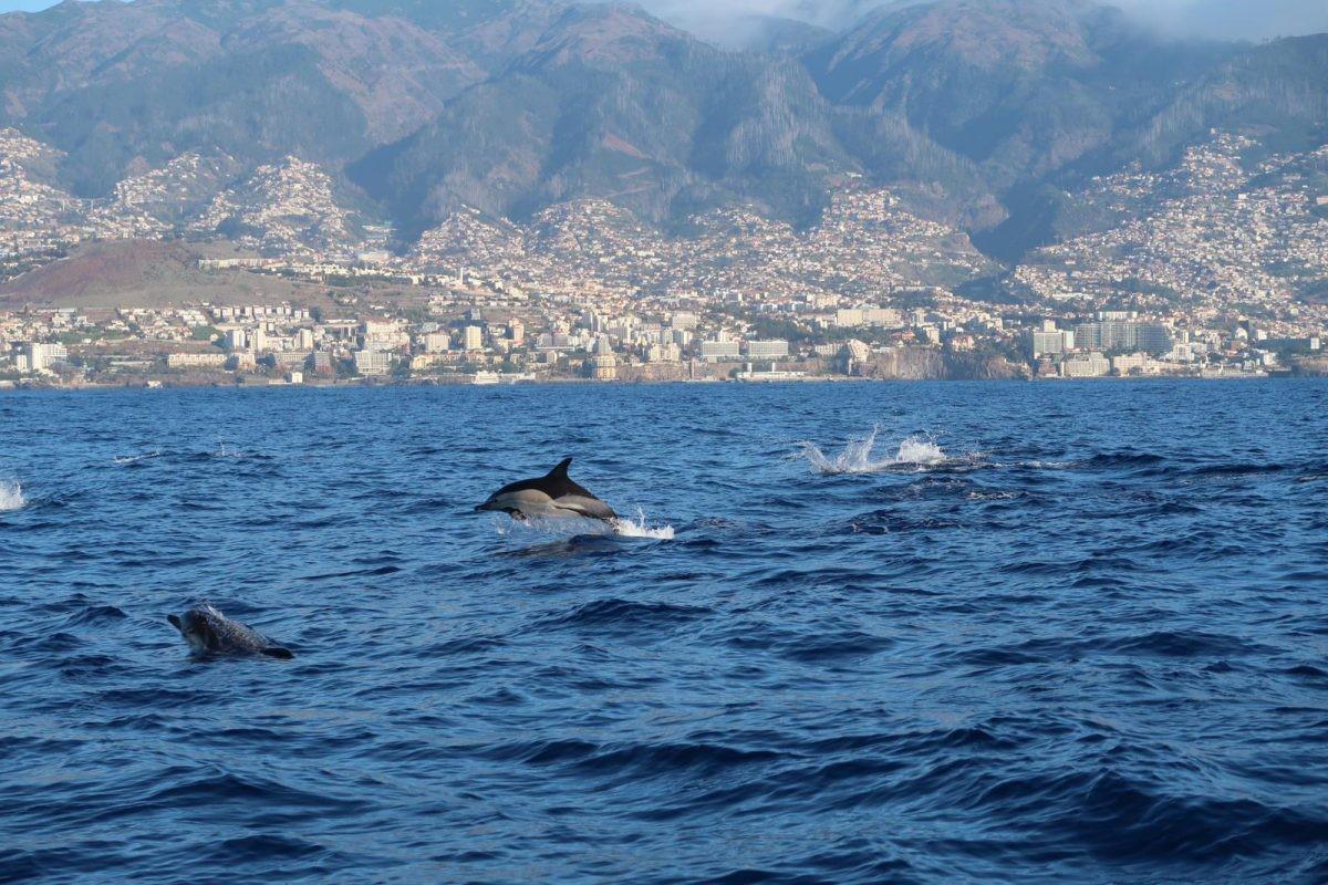 Dolfijnen spotten op Madeira, fotocredits: inhetvliegtuig