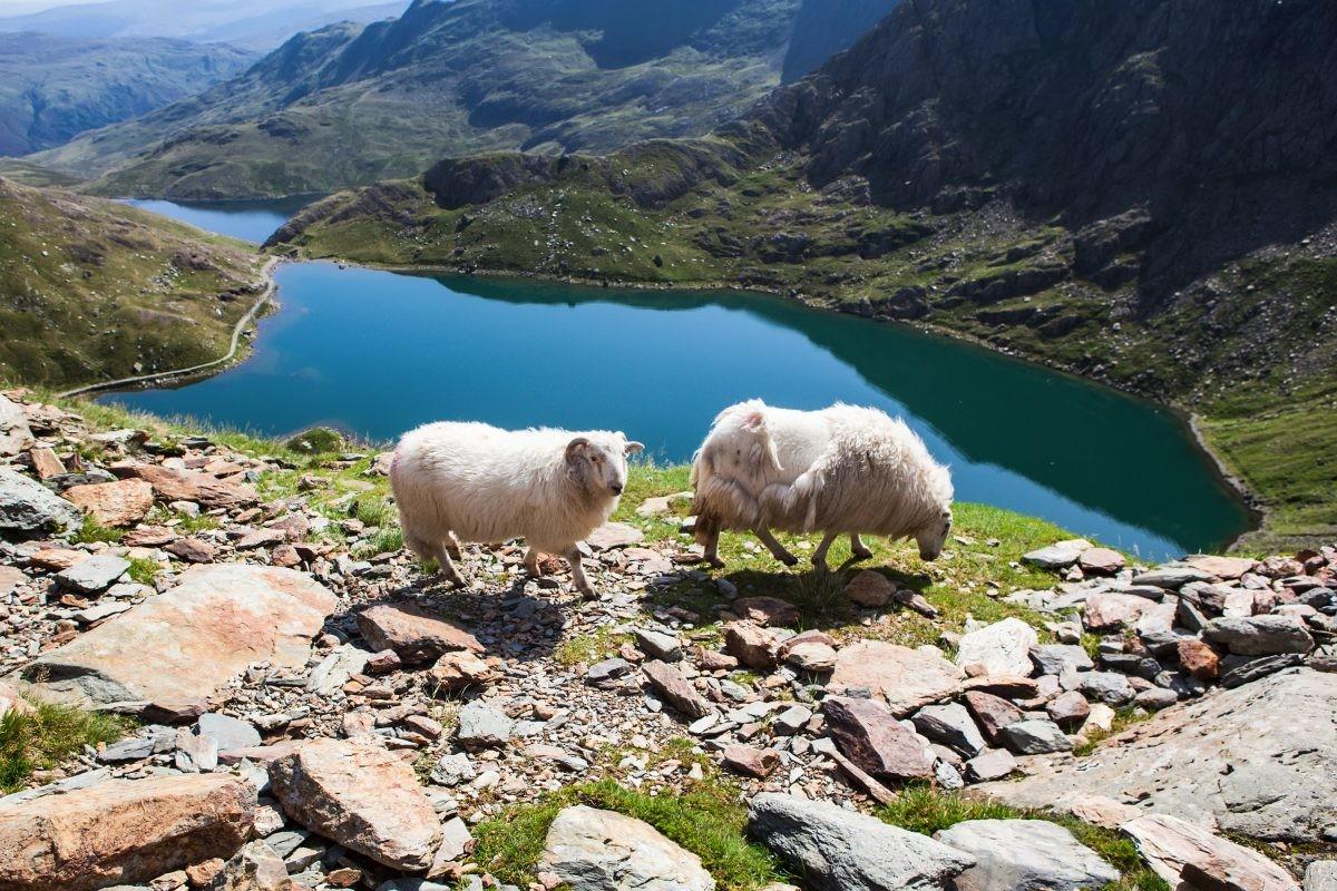 Rijden door het prachtige Snowdonia wordt alleen onderbroken door een ontmoeting met haar wollige bewoners. Foto: Buro Scanbrit