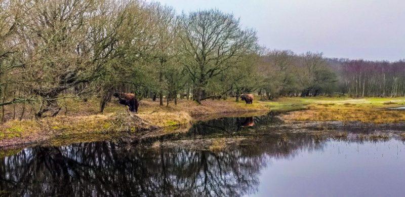 Koeien in het duingebied
