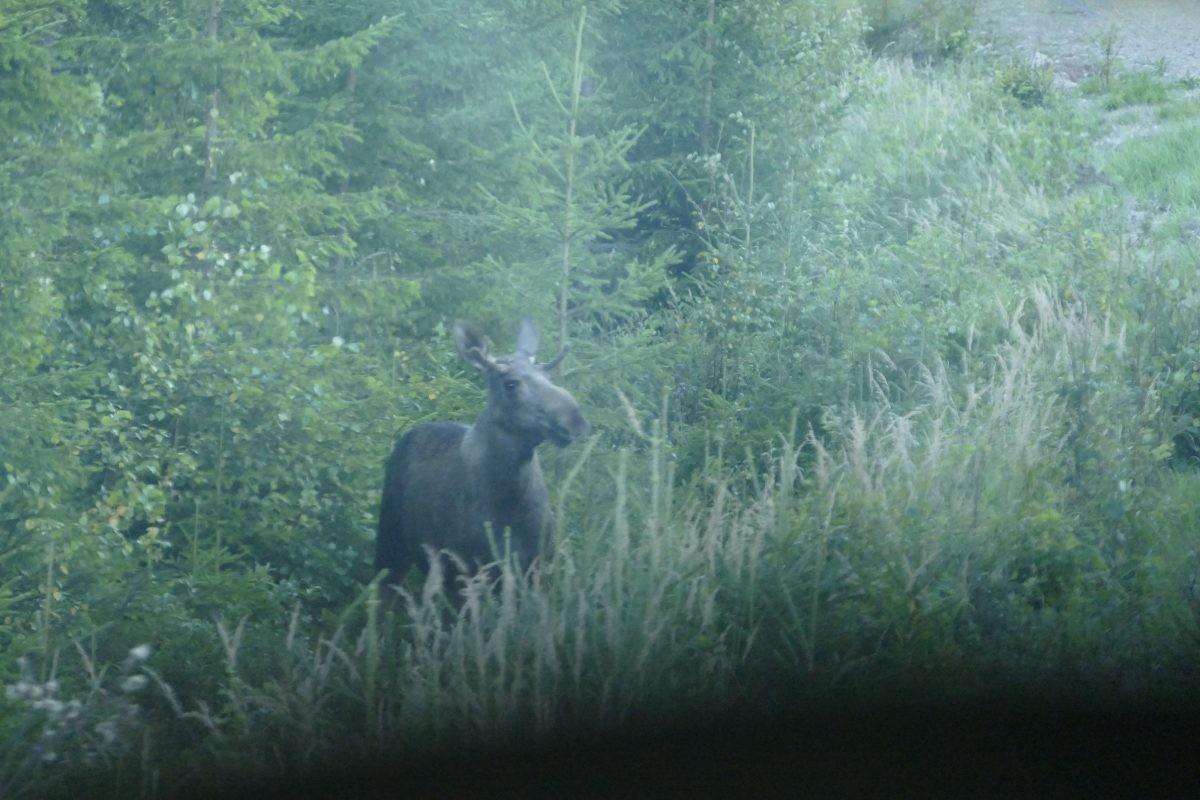 Verdekt opgestelde eland in Dalarna