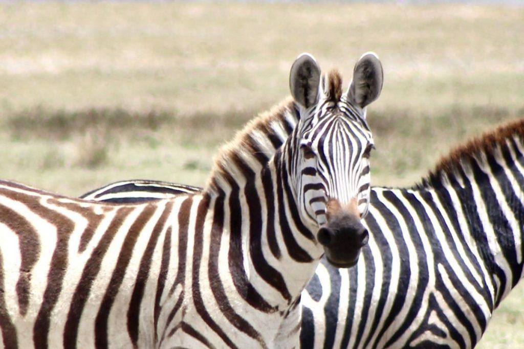 Zebra in Tanzania. Foto: Pauline van der Waal