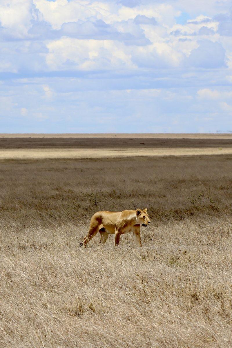 Leeuwin die buitengewoon goed bij de achtergrond past. Foto: Pauline van der Waal