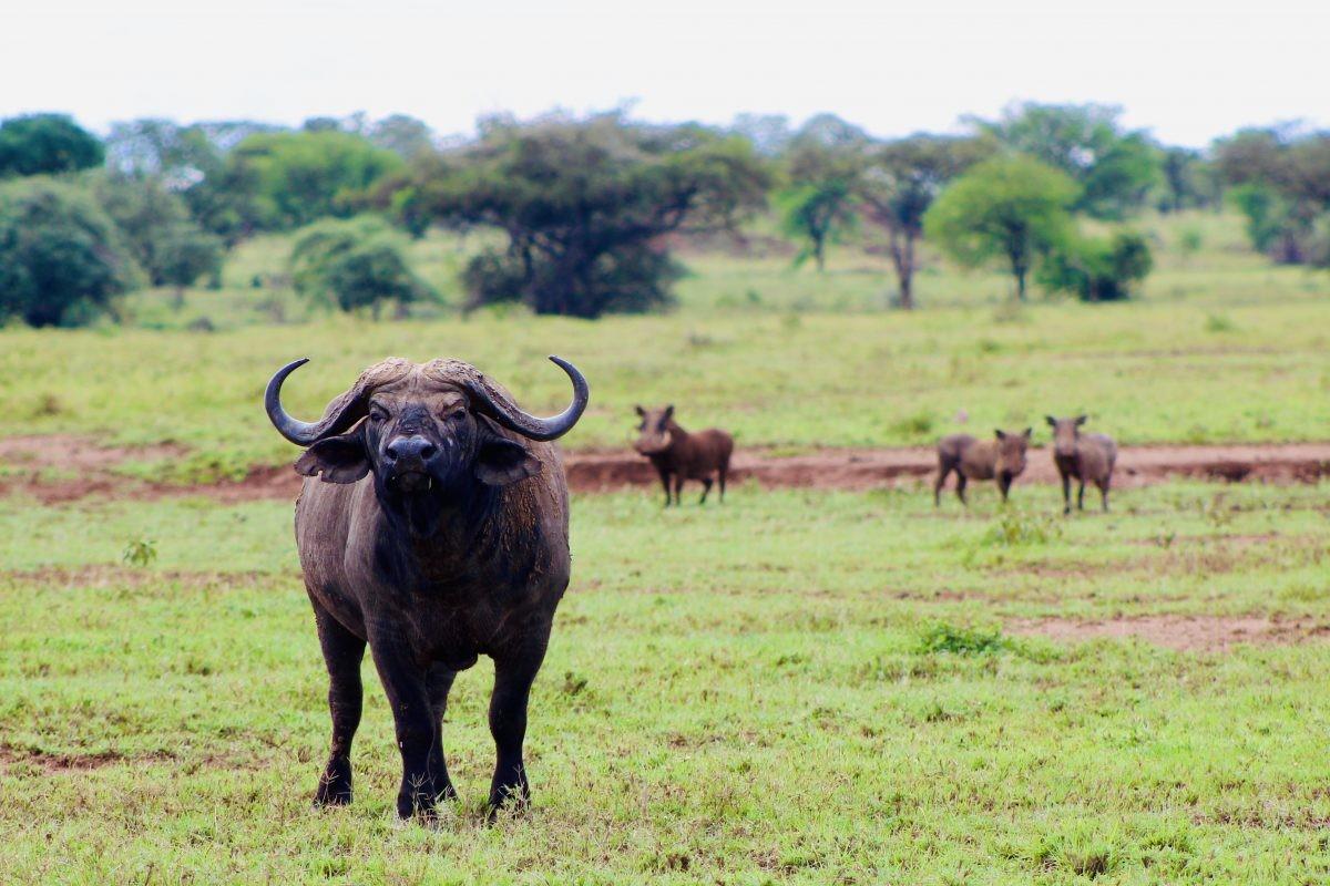 Stoere buffel met z'n vriendjes. Foto: Pauline van der Waal