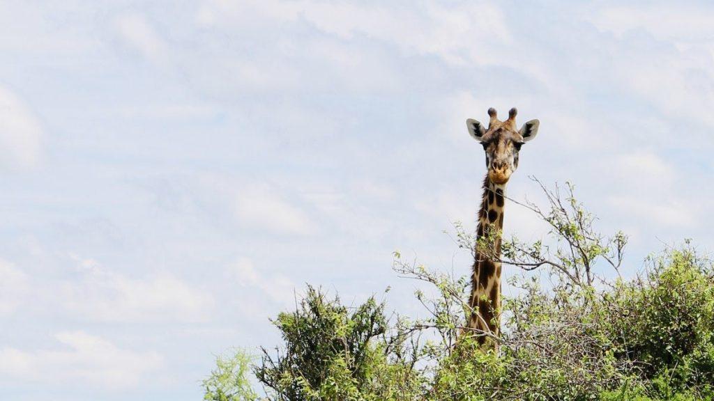 Giraf. Foto: Pauline van der Waal