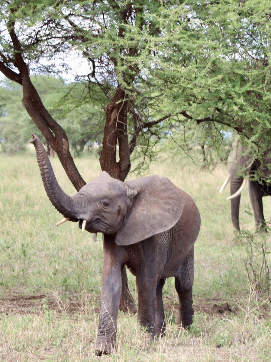 Een stoere kleine olifant komt ons tegemoet. Foto: Pauline van der Waal