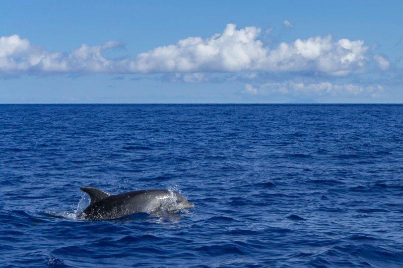 Dolfijnen spotten Sao Miguel