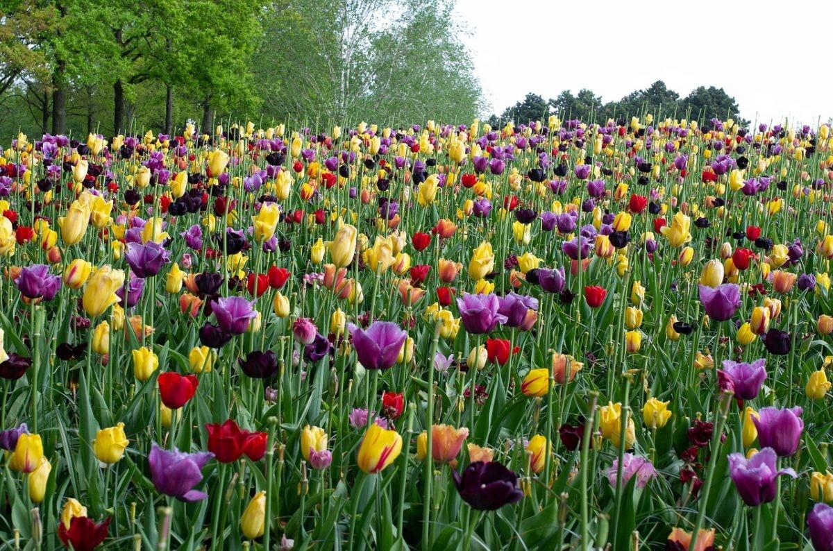 Bloemenheuvel met de bloeiende tulpen in de Keukenhof. Foto: Afbeelding van marylene1 via Pixabay