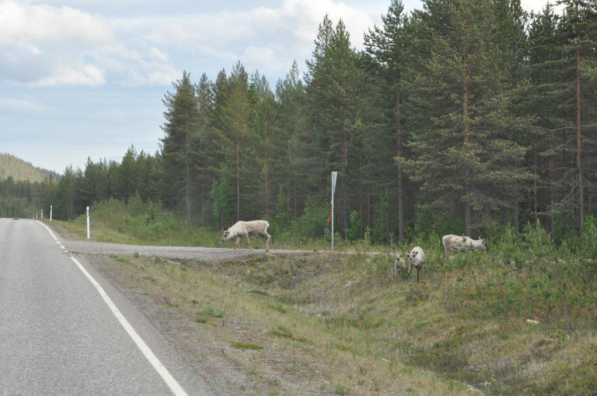 Rendieren langs de weg