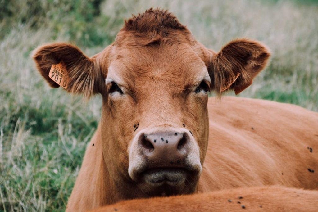 Koeien met GPS-tracker