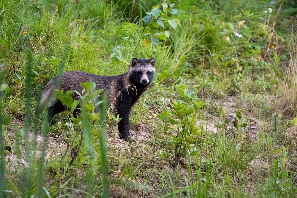 Een van de wasbeerhonden bij de kijkhut in Sirtsi National Park, Estland