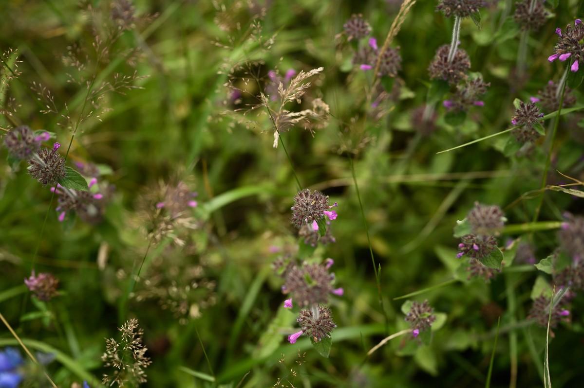 .. of deze grassen