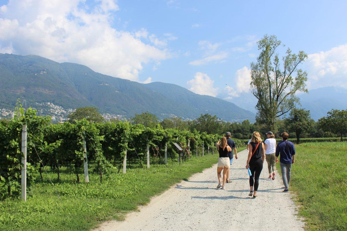 Druiven in Ticino, wandelen door de wijngaard