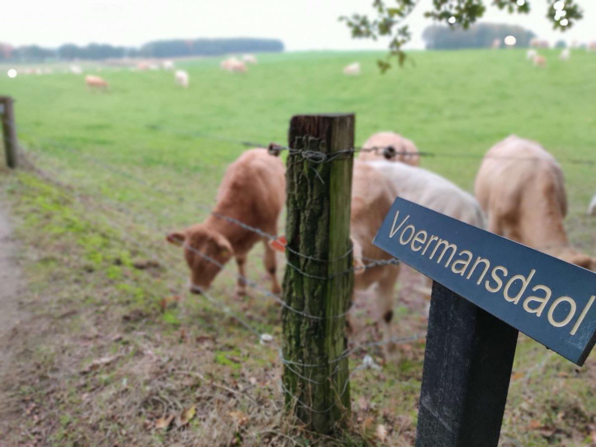 Langs de koeien in de wei richting Duitsland. Foto: Sietske Mensing