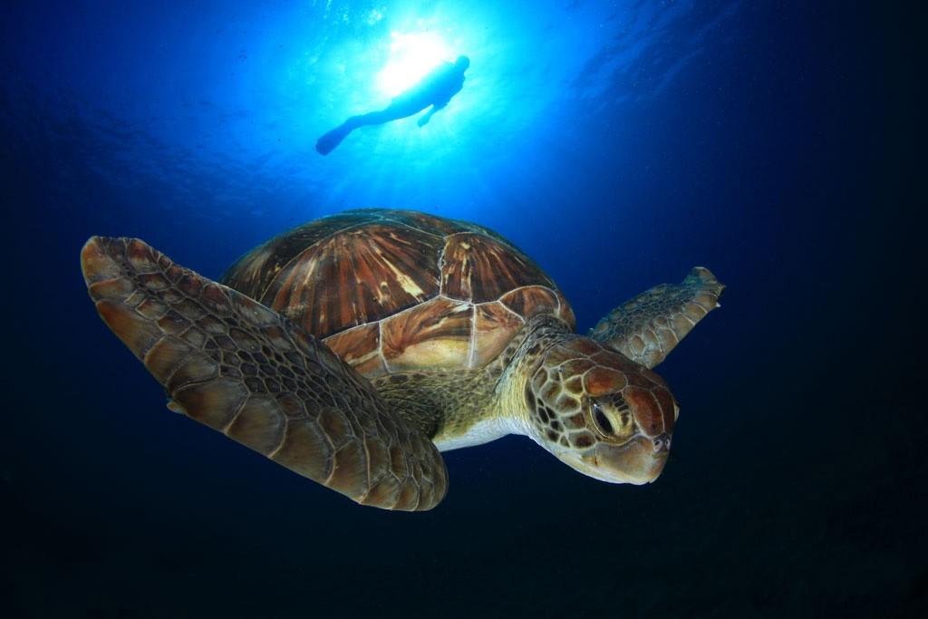 Grote kans dat je tijdens je duik schildpadden spot. Copyright Turismo de Tenerife
