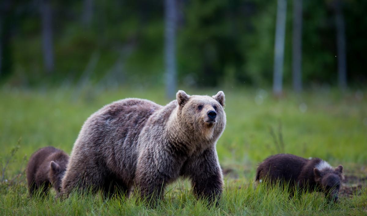 Lukt het om beren te zien? Dan kan je vakantie zeker niet meer stuk!